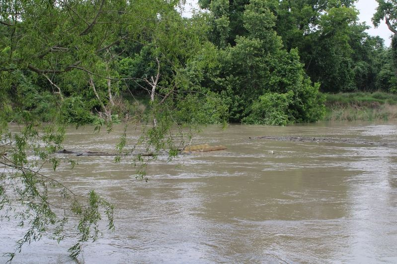 View of the Guadalupe River with rushing water and floating patches of mud, branches and wood trash